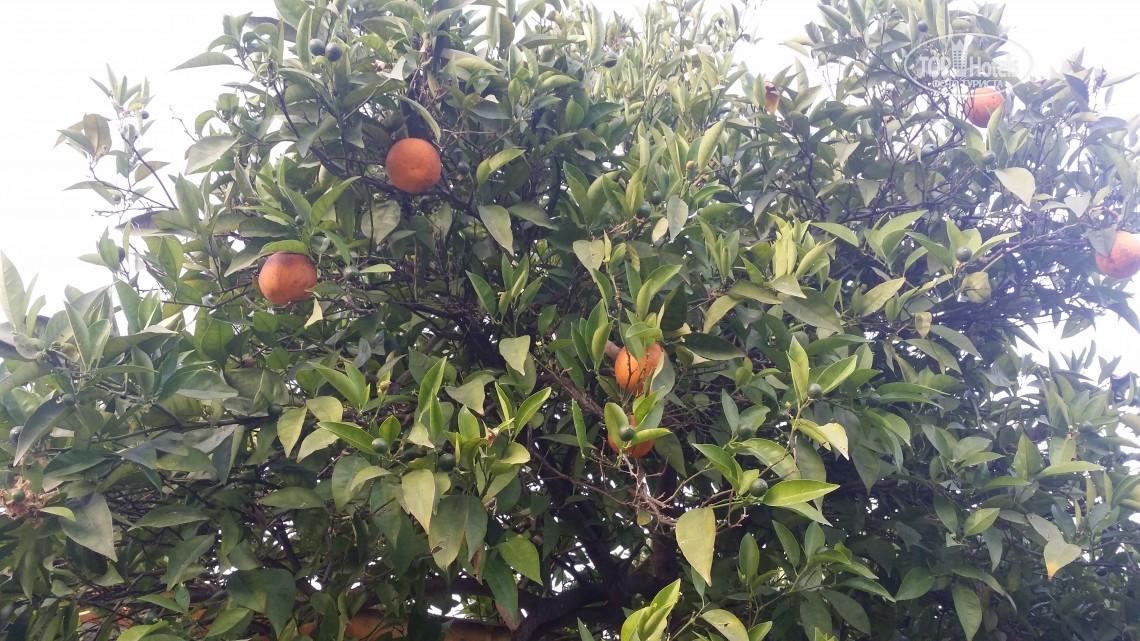 Апельсины на деревьях