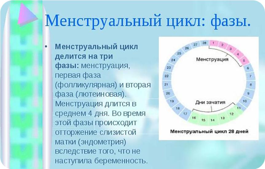 менструационный цикл фазы